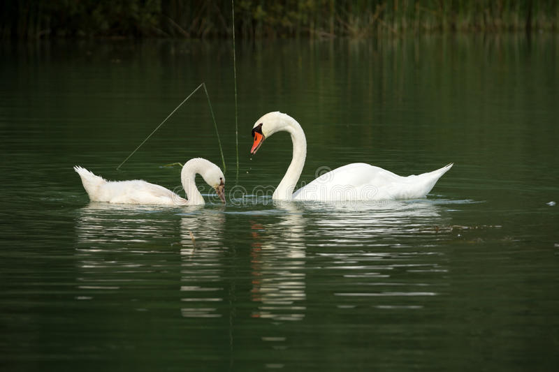 Download Swans on a lake stock photo. Image of marriage, romance - 28516144