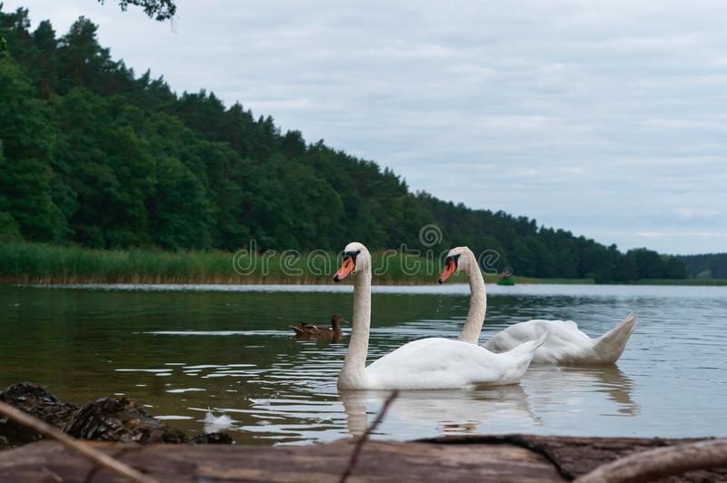 Swans came on shore, the swans on the lake, water birds in natural conditions stock images