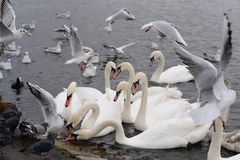 Swans in the lake. White swans in the lake in the garden in the UK stock photos
