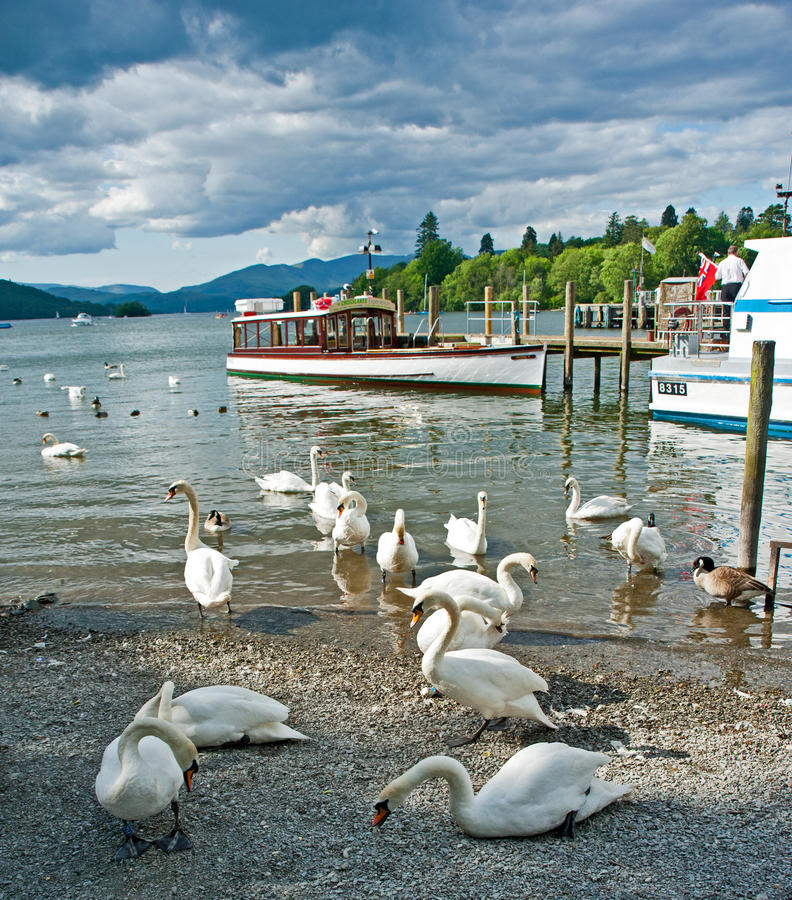 Download Swans on Lake Windermere editorial stock photo. Image of trips - 25153393