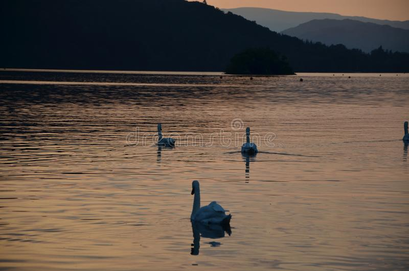 Swans at lake windermere during sunset in the lake district. Lakeland, england, united kingdom royalty free stock images