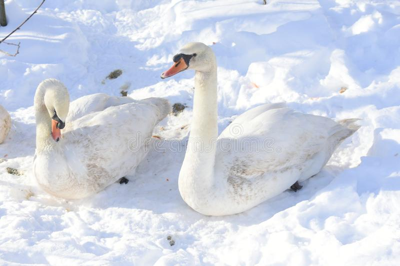 Swans are the largest extant members of the waterfowl family Anatidae, and are among the largest flying birds. The largest species. Including the mute swan royalty free stock photography