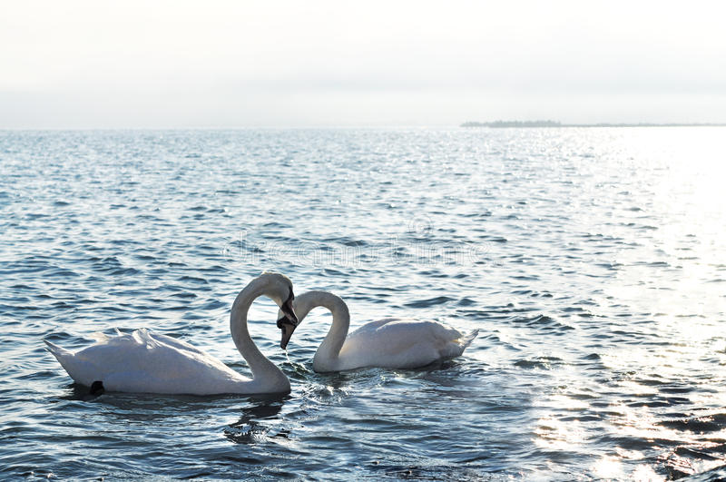 Swans in love stock images