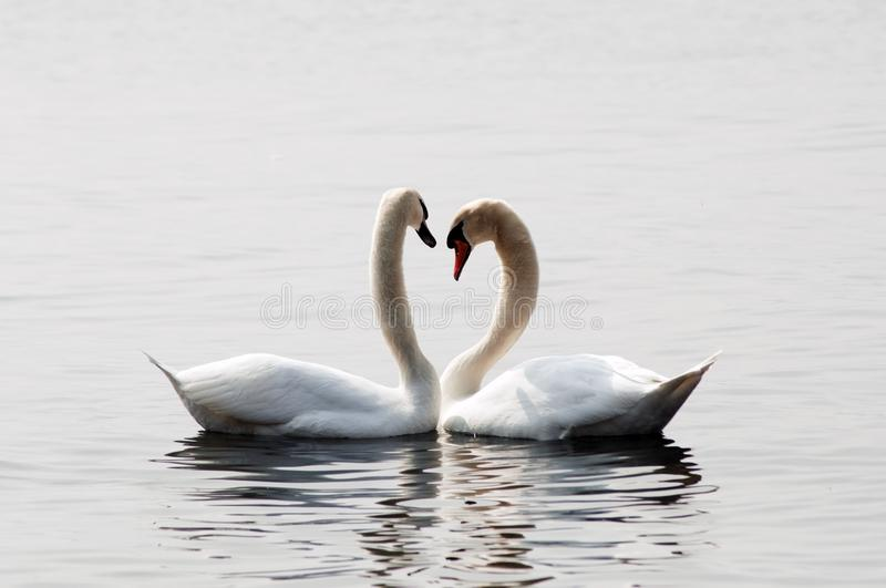 Swans in love. A pair of swans expressing love stock images