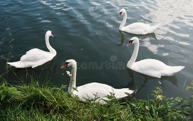 Swans Nature Graceful Peaceful Wild Concept stock photography