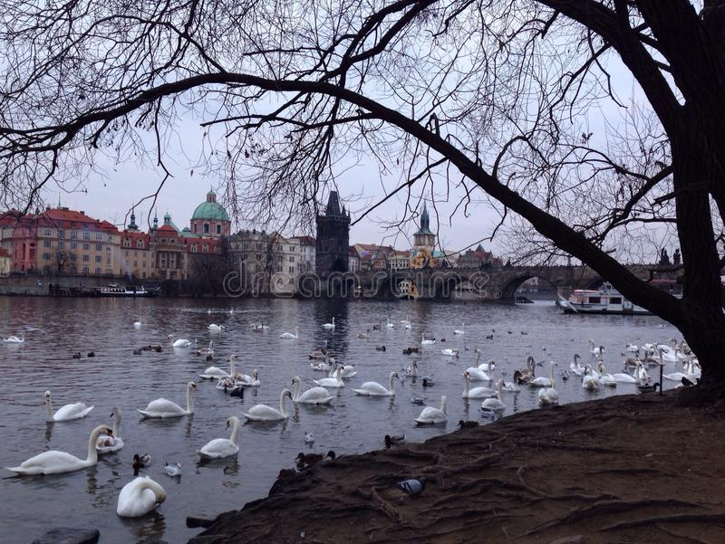 swans near the Charles Bridge in Prague royalty free stock image