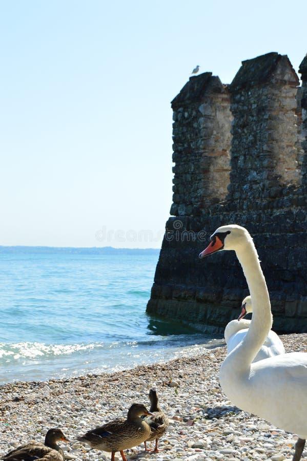 Swans och ankor på stranden royaltyfria foton