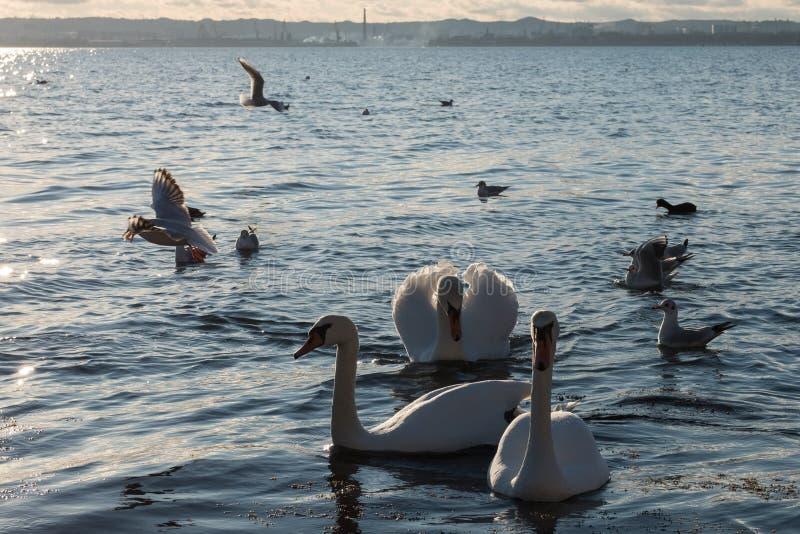 Swans och seaguller på kusten Vita svans och anka simmar i en damm arkivfoto