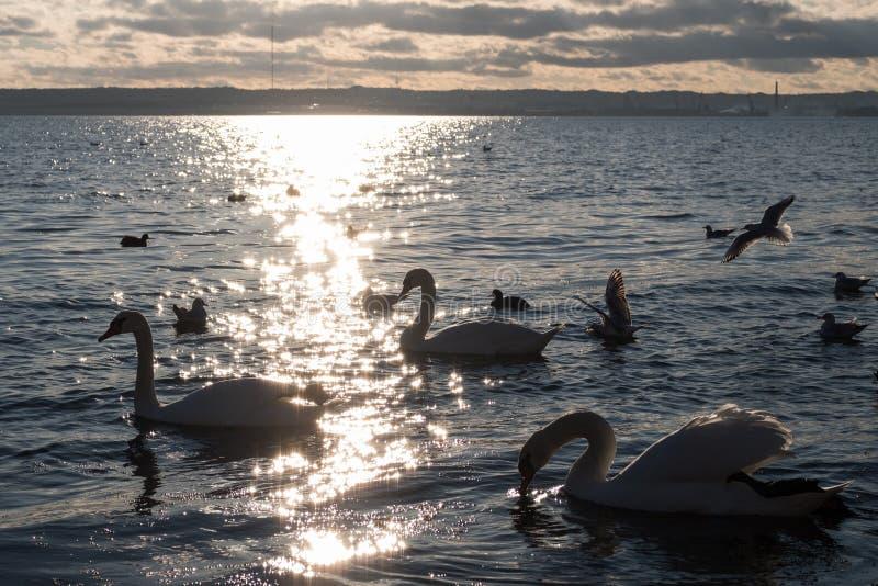Swans och seaguller på kusten royaltyfria bilder