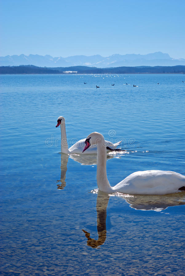 Free Swans On A Lake In Front Of Mountain Range Royalty Free Stock Images - 10626139