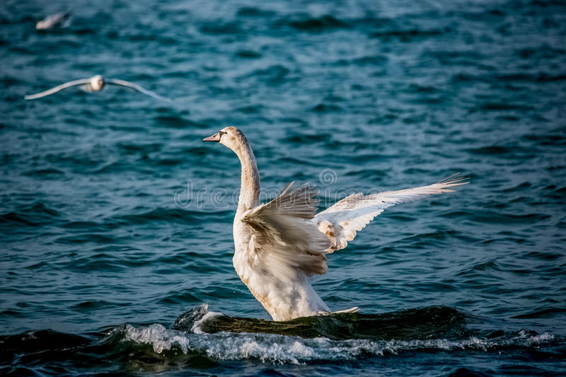 Swans and other waterfowls on the Sea royalty free stock images
