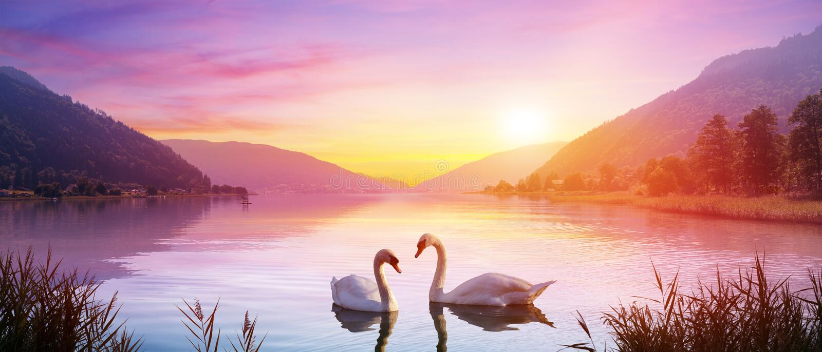 Swans Over Lake At Sunrise. Calm And Romance royalty free stock image