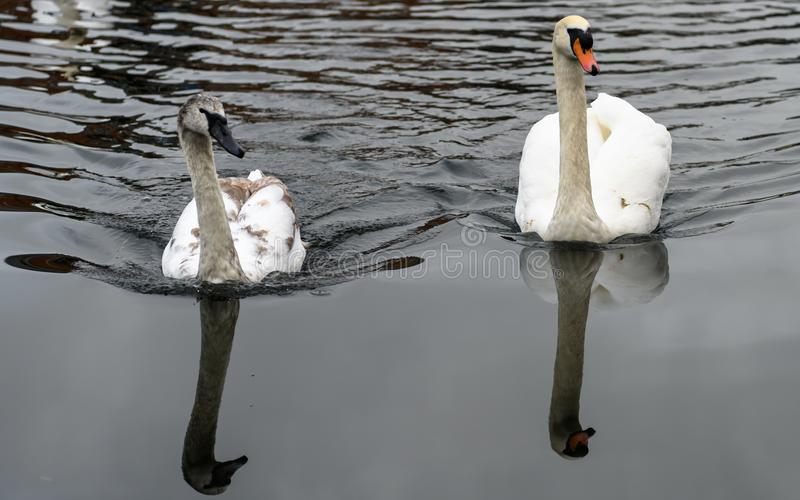 Swans på en flod royaltyfri bild