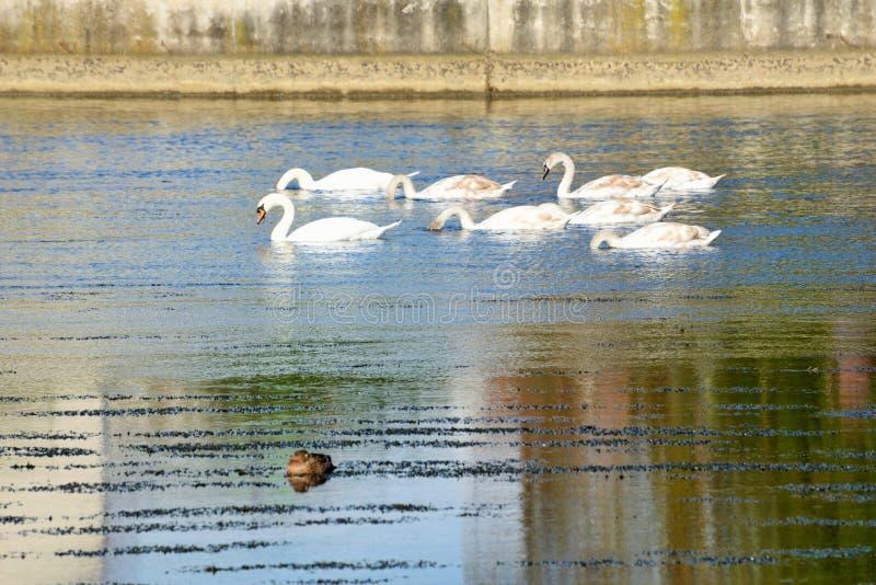 Swans på floden arkivbilder