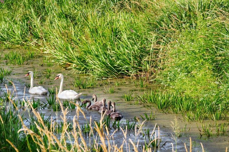 Swans på laken Bakgrund arkivfoto