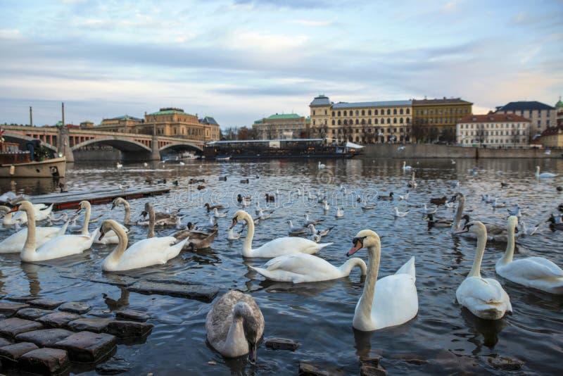 Swans på Vltava-floden i bakgrunden Manes Bridge, Prag, Tjeckien arkivbild