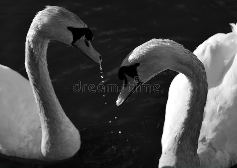 Swans on royalty free stock photos