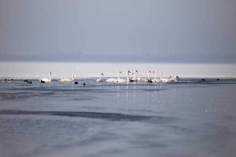 Swans on a partially frozen lake in winter royalty free stock photos