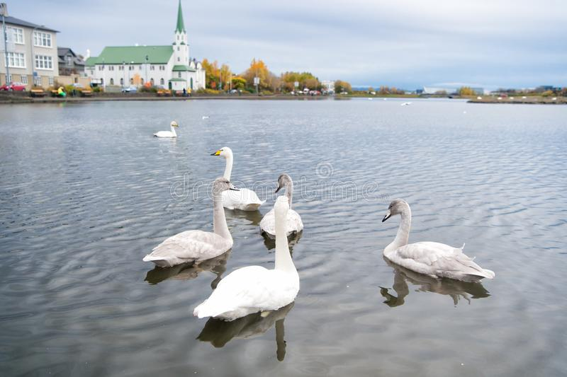 Swans in pond in reykjavik iceland. Swans gorgeous on grey water surface. Animals natural environment. Waterfowl with. Offspring floating on pond. Swans natural royalty free stock photo