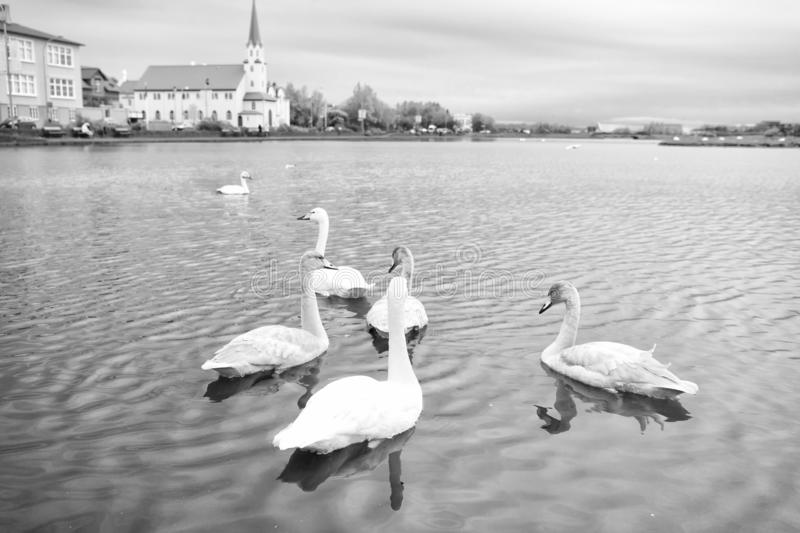 Swans in pond in reykjavik iceland. Swans gorgeous on grey water surface. Animals natural environment. Waterfowl with. Offspring floating on pond. Swans natural royalty free stock image