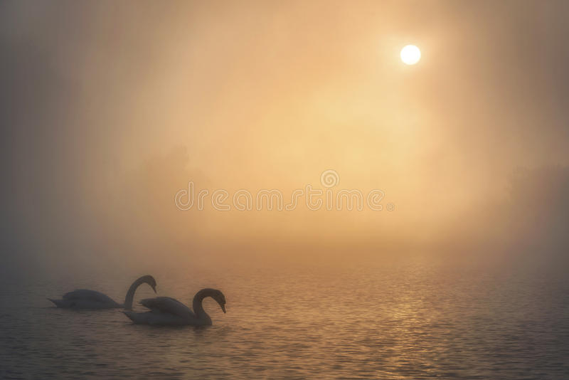Swans resting on a Foggy Lake stock photos