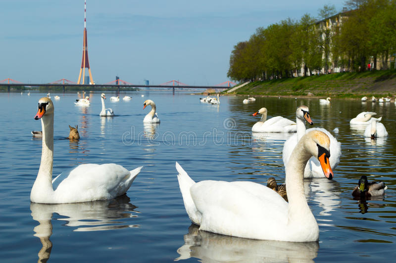 Swans in Riga. A lot of swans in Riga stock photography