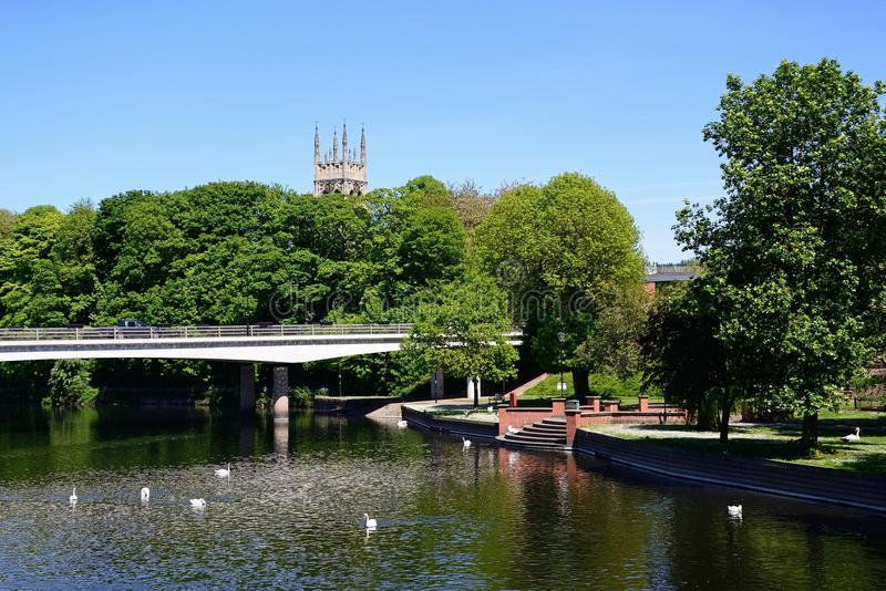 Swans on the river, Burton upon Trent. stock images