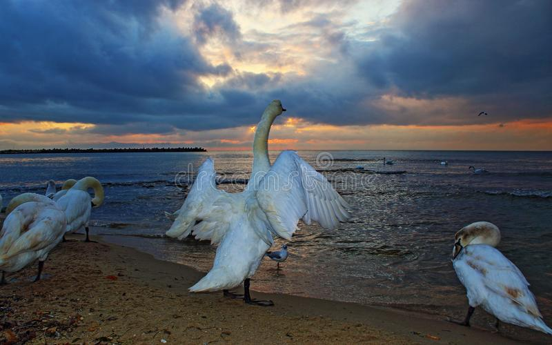 Swans at sandy beach against dramatic sunrise sky. Swan flapping wings among other birds cleaning their feathers at the beach against dramatic sunrise skies stock image