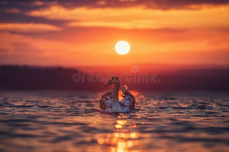 Swans in the sea and beautiful sunset stock photo