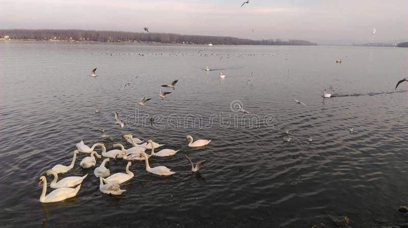 Swans and seagulls at Danube river in Zemun royalty free stock images