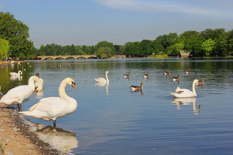 Swans at Serpentine Lake, Hyde Park in London, UK royalty free stock photography