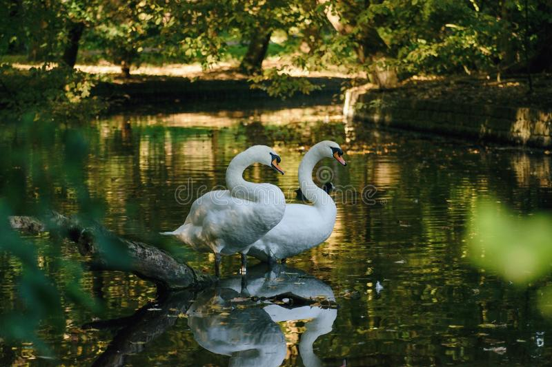 Swans on the small river... Two swans stand on a bough of the tree which fell in water not of the wide small river stock photo