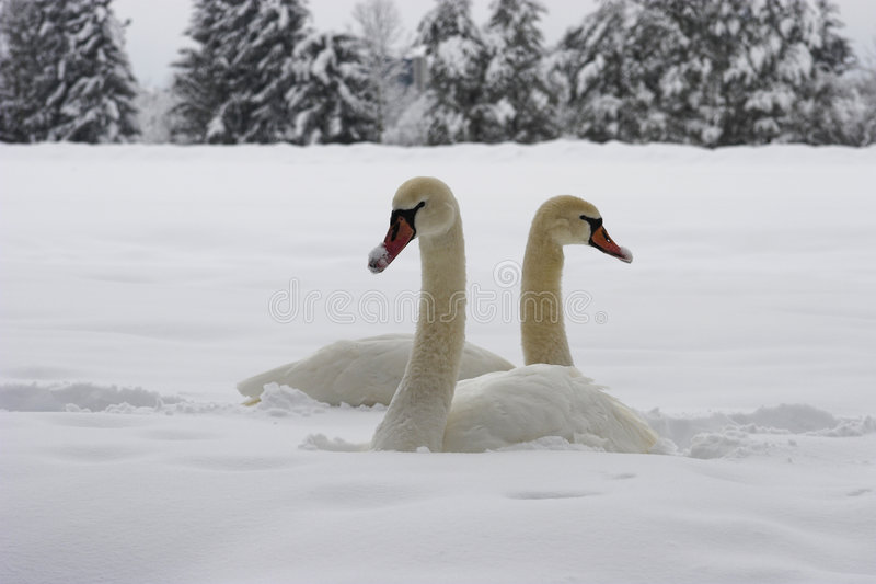 Swans on snow royalty free stock images