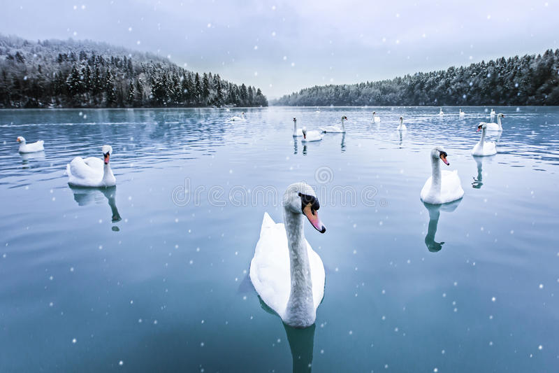 Swans, snow, lake, winter stock photography