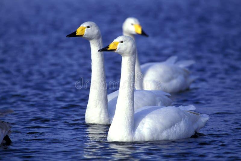 swans som simmar vatten royaltyfri foto