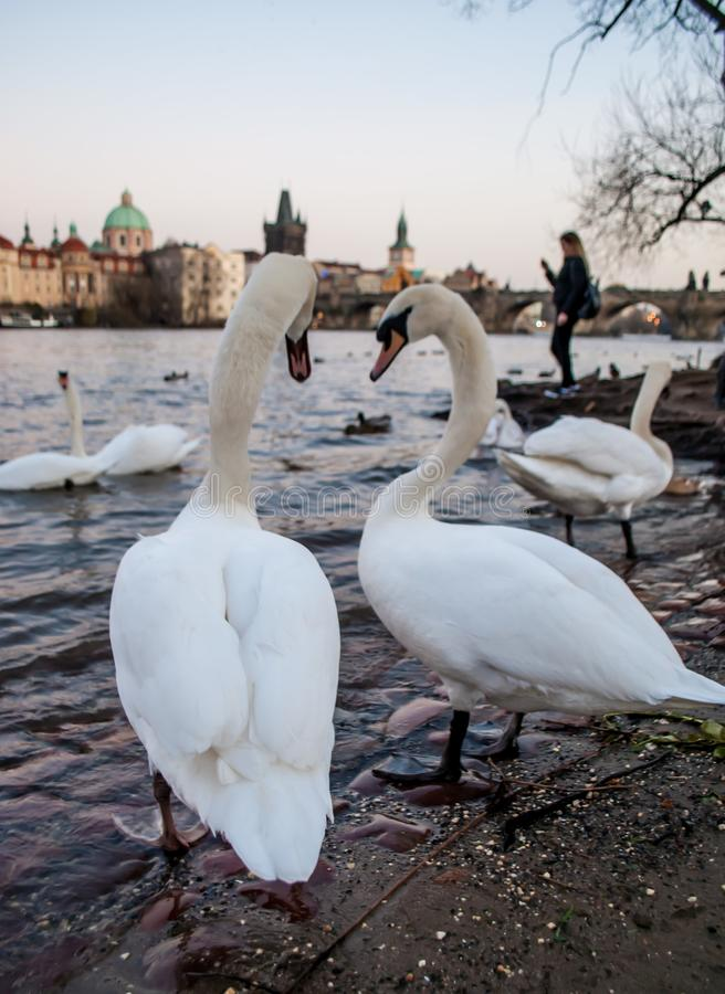 Swans, standing on the banks of the river, and looking at the city, in the evening twilight royalty free stock photos