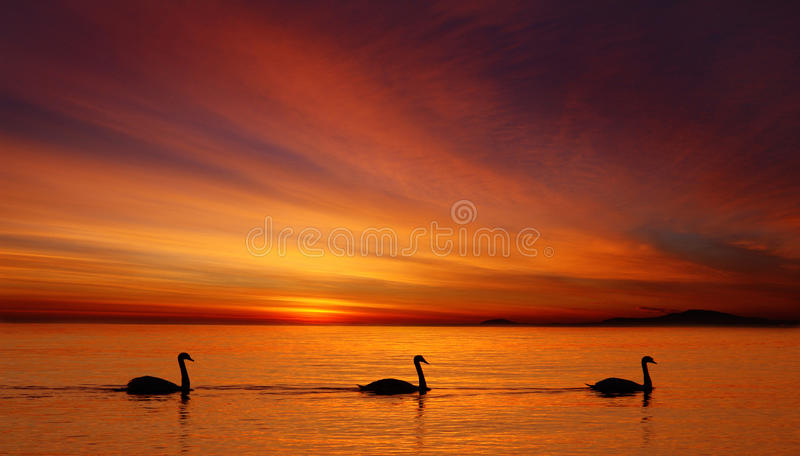 Swans at sunrise stock image