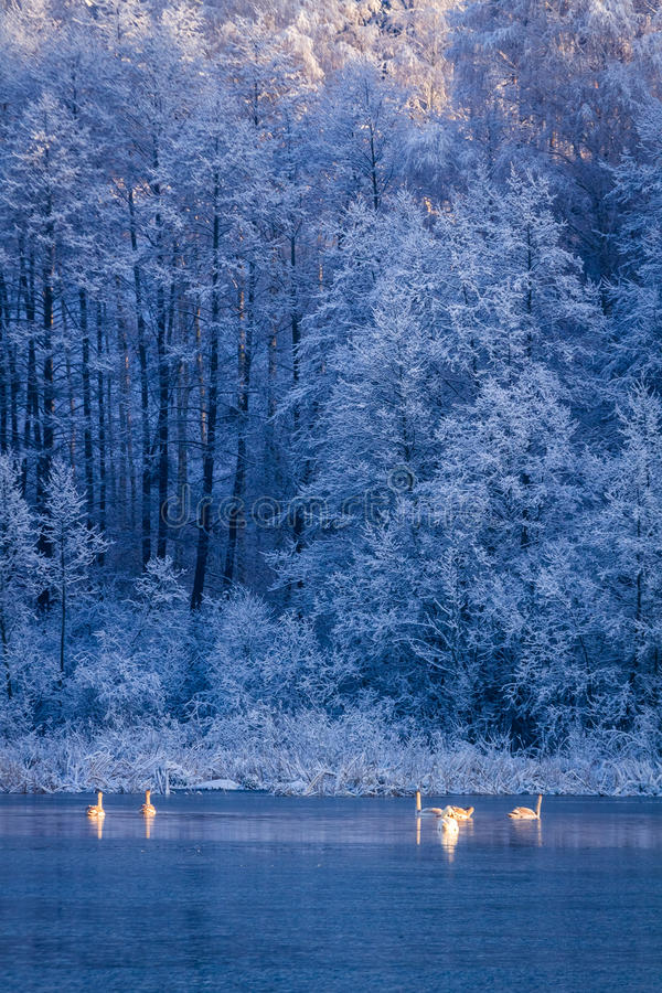 Swans at sunrise on winter lake on frozen forest on background royalty free stock images