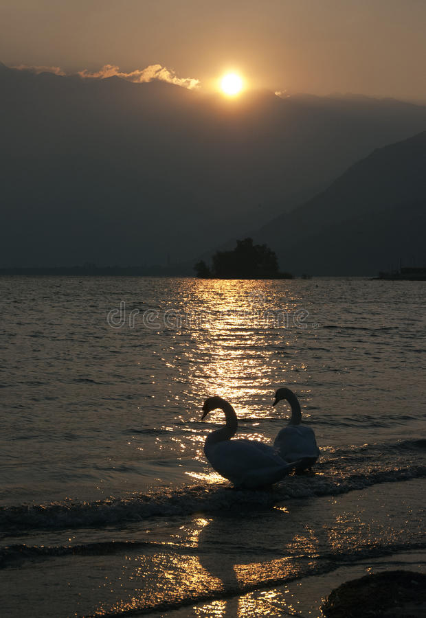 Download Swans At The Sunset Stock Photo - Image: 26592020