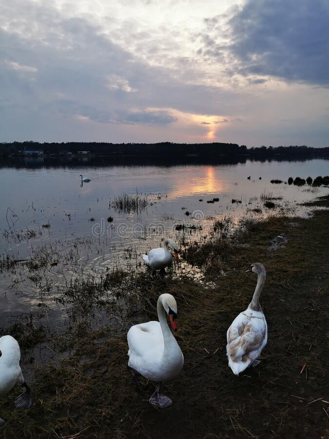 Swans in sunset royalty free stock image