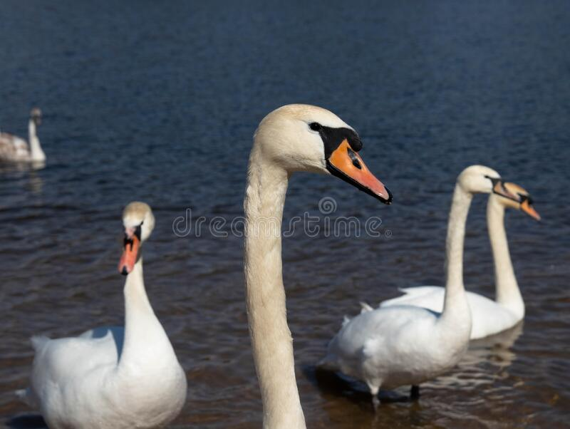 Swans. Swans The first spring birds arrived. The beach on the lake has revived stock images