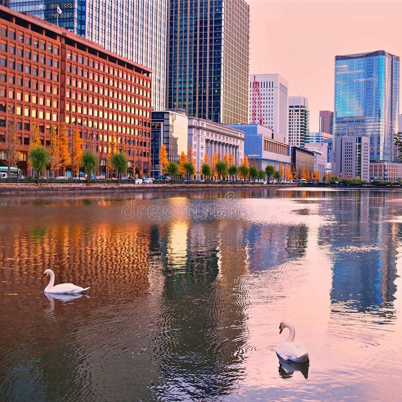 Swans swimming in city reflections royalty free stock photo