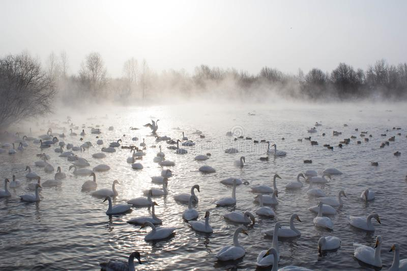 Swans swimming in the mist royalty free stock image