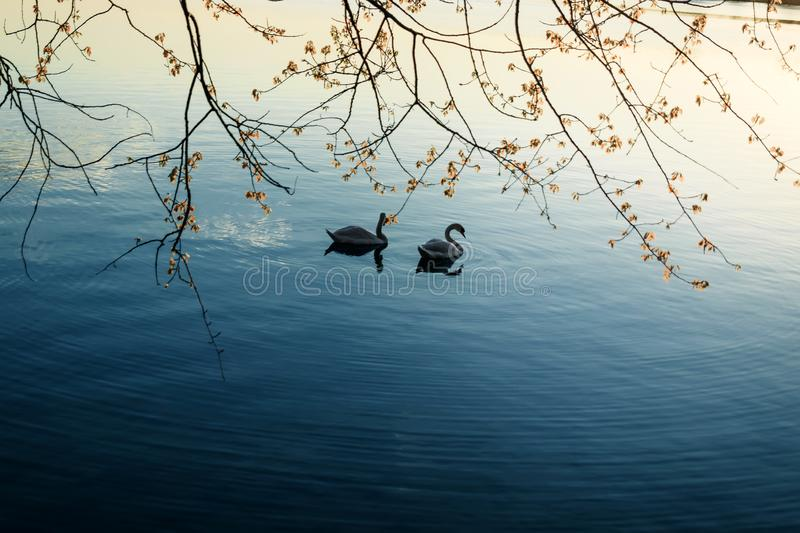 Swans swimming in Starnberger See at sunrise,Bayern,Germany Where two love, grieves the Third royalty free stock images