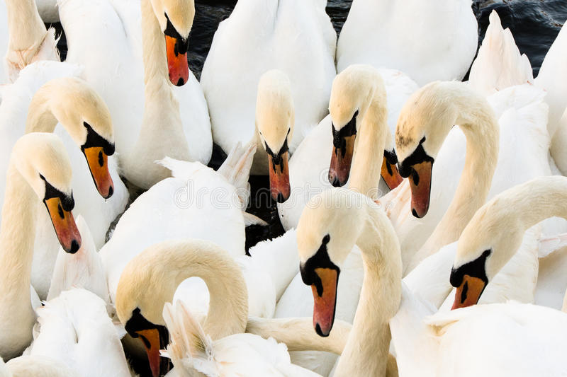 Swans on the Thames at Eton/Windsor royalty free stock photos