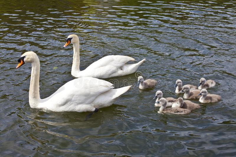 Swans with their Cygnets. Two swans swimming with their Cygnets royalty free stock image