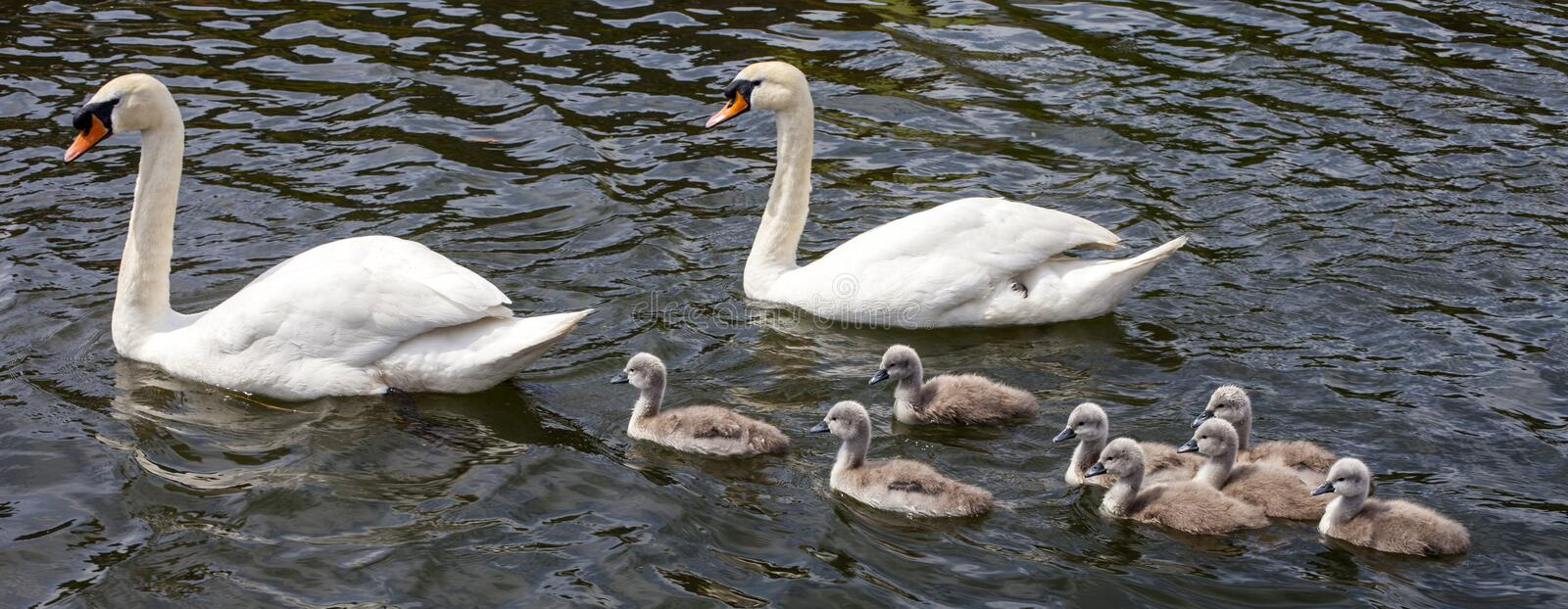 Swans with their Cygnets. Two swans swimming with their Cygnets stock image