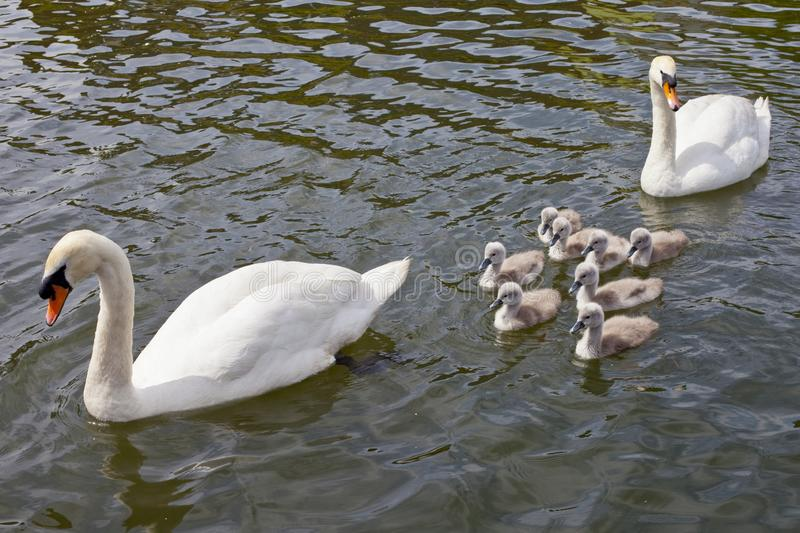 Swans with their Cygnets. Two swans swimming with their Cygnets royalty free stock photography