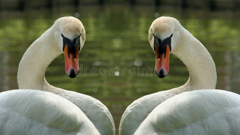 swans två fotografering för bildbyråer