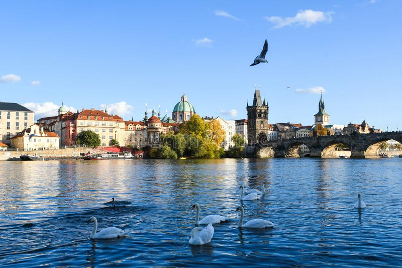 Swans on Vltava river beside the Charles Bridge in Prague, Czech Republic. Autumn season, Europe. Blue sky royalty free stock photo
